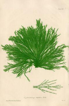 // seaweed, Henry Bradbury 1859