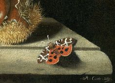 Adriaen Coorte - 'Still Life with a [Tiger-moth (Arctia caja)]...and a Chestnut' (detail) 1685 Oil on canvas