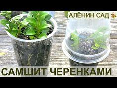 Как размножать САМШИТ / Размножение самшита черенками - YouTube