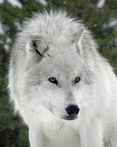 .bello lobo blanco