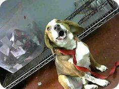 Atlanta, GA - Beagle Mix. Meet SHELTON, a dog for adoption. http://www.adoptapet.com/pet/15651307-atlanta-georgia-beagle-mix