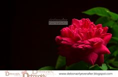 Red Rose. Indeed, the representation of love.