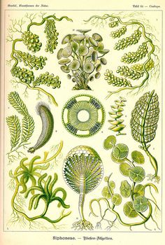 {Ernst Haeckel Print c.1898} Art Forms in Nature