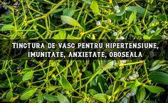 √ Articol documentat Vâscul (Viscum album) este o specie de plantă semi-parazit, care crește pe diverse specii de foioase și pomi fructiferi. Se întâlnește în toate zonele țării. Din frunzele ei se pot obține ceaiuri, tincturi și unguente medicinale. Vâscul […] The post Tinctură de vâsc pentru hipertensiune, imunitate, infecții, anxietate, oboseală appeared first on LaTAIFAS.