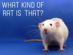 Learn more about rat types — can you figure out which one you have?