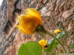 Rosa amarilla en El Masroig, Tarragona.