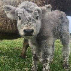 CALF. So cute and cuddly
