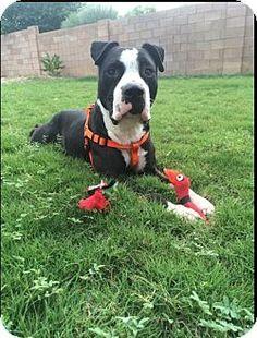American Bulldog Boxer Mix Breed Sam, the Bulloxer Puppy
