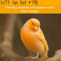 WTF Facts : funny, interesting & weird facts>>>You are what you eat. Wow Facts, Weird Facts, Random Facts, Cool Fun Facts, Weird Animal Facts, Weird Science Facts, Awesome Facts, True Facts, Random Stuff