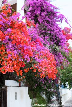Bougainvillea, Volos, Griechenland Copyright: Costantino Topas Source by kimberlydreams Tropical Landscaping, Tropical Garden, Garden Landscaping, Exotic Flowers, Love Flowers, Beautiful Flowers, Bougainvillea Colors, Cerca Natural, Arrangements Ikebana