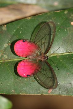Blushing Phantom (Cithaerias pireta) is a species of butterfly of the Nymphalidae family. It is found from Mexico south to South America.