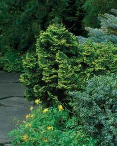 """Conifers for Shade--golden dwarf hinoki cypress (Chamaecyparis obtusa 'Nana Lutea') Zone 4-8; gold-variegated false cypress; 3-5' tall & wide, slpw grower (1""""/yr); delicate, golden-tipped foliage & twisted branches stand out handsomely, esp in winter. Deer love, protect it."""
