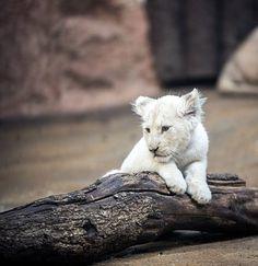 Lion, White Lion, Big Cat, Mane