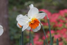 Narcissus 'Barret Browning' blooms late April