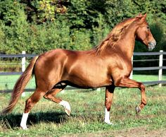 Pura Raza Española stallion Diego, flashy chestnut. The color is very rare in the breed; not much more than 1 in 100.