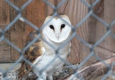 Here is one owl that I do not expect I will ever see in its natural habitat…a Barn Owl. I was blown away by the unique colour of its plumage. Raptor Center, Saw Whet Owl, Long Eared Owl, Screech Owl, Great Grey Owl, Red Tailed Hawk, Great Horned Owl, Gray Owl, Golden Eagle