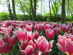 (Holland exhibition of tulips) Tulips, Holland, Rose, Flowers, Plants, The Nederlands, Pink, The Netherlands, Netherlands
