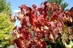 The Amur maple tree (Acer ginnala) is drought tolerant and features beautiful colors every autumn. Learn how to grow and care for this tree. Patio Trees, Garden Trees, Trees And Shrubs, Trees To Plant, Flowering Trees, Unique Trees, Small Trees, Amur Maple, Willow Tree Wedding