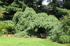 Pinus Strobus 'Pendula' Specimen at Secrest Arboretum in Wooster, OH. This specimen is actually 2 separate plants that have been brought together to create an arc for visitors to pass into the shade garden. Nice effect. Photo by Bill Barger.