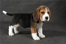 Beagle I want to take him home !!