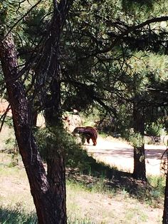 Grizzly Bear walking up our neighbors driveway.