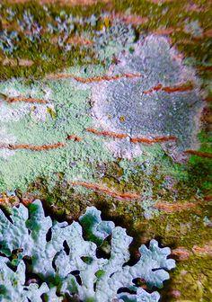 Lichen on tree bark ... Photo by Lilian Busch