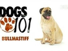Dogs 101- Bullmastiff. I loved AnimalPlanet's Dogs 101 series. What beauties Bullmastiffs are!