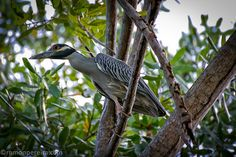 Heron on a Tree in Playa Veracruz, Panama Heron, Panama, Explore, Herons, Panama City, Exploring, Stork
