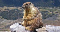 La marmota de los Pirineos en peligro por la poca diversidad genética
