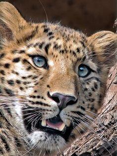 ..Amur Leopard, Kaila by Milan Vorisek..