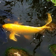 Golden koi (Day 21) #30DoC #ColorsInNature 30 Day, How To Take Photos, Koi, Creativity, Artist, Nature, Color, Naturaleza, Artists