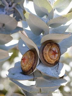 Fruit of the spirit tree seeds 61 ideas Australian Wildflowers, Australian Native Flowers, Australian Plants, Unusual Flowers, Unusual Plants, Amazing Flowers, Australian Native Garden, Cactus, Tree Seeds