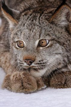 Canadian Lynx You are in the right place about Mammals painting Here we offer you the most beautiful pictures about … Chat Lynx, Lynx Boréal, Crazy Cats, Big Cats, Cool Cats, Cats And Kittens, Animals And Pets, Baby Animals, Cute Animals
