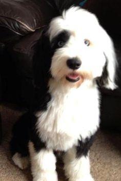 Hugo, a blue eyed Tibetan Terrier from England. Gorgeous!