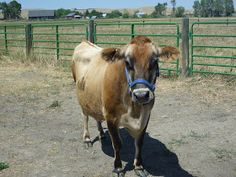 The Browning Homestead at Red Fox Farm: Tilly, Our First Family Milk Cow~minerals
