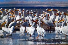 #aquatic #birds #coast #feeding #flock #group #ocean #pelicans #sea #seabirds #water #wild #wildlife