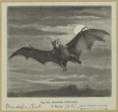 Bat Illustration From NY Public Library Archives.