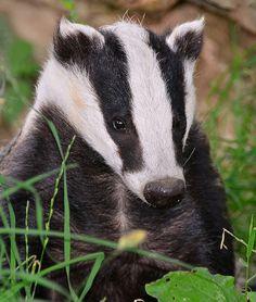 Sitting pretty! - British Badger (Meles meles) by One more shot Rog, via Flickr