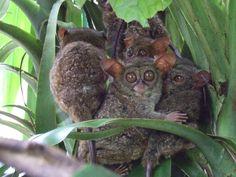 Tarsius tarsier (nártoun celebeský, Tarsiidae)