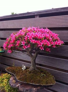 Flowering Bonsai- Azalea.