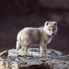 BABY WOLF.   ***** Referenced by 1 Dollar Website Hosting  (WHW1.com):  Best Business Hosting. Affordable, Reliable, Fast, Easy, Advanced, and Complete.©  FREE Sites. Ask.