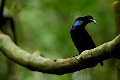 Photo by The oddly twisted neck of this male Magnificent Riflebird reveals a beautiful range of metallic blue and purple hues… Paradise Found, Purple Hues, Exotic Birds, Metallic Blue, Photo Projects, Bird Species, Nature Pictures, Beautiful Birds, Wildlife