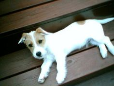 Everything you've ever wanted to know about Jack Russell Terriers.