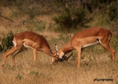 Rutting season for the impalas have started! It is so hilarious to see these rams in action - they make the strangest grunting and snorting sounds!! #krugerpark #wildlife www.outlook.co.za