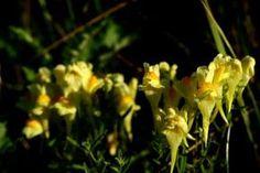 Zioła, Kwiaty i ich zastosowanie: Maść z lnicy pospolitej na ukąszenia, zmiany skórne i hemoroidy
