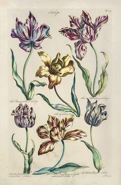 Tulips - 1757