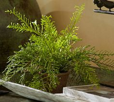 potted asparagus fern