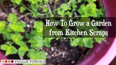 How-to Grow a Vegetable Garden from Kitchen Scraps.  Grow pineapple, celery, garlic, onions, ginger, and even romaine lettuce (not shown in this video)- all from kitchen scraps that most people throw away in the trash.