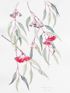 Kristin Bain: Eucalyptus caesia - watercolour and gouache Australian Wildflowers, Australian Native Flowers, Australian Art, Australian Tattoo, Botanical Drawings, Botanical Prints, Botanical Flowers, Plant Drawing, Painting & Drawing