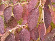 Fall color  of Doublefile Viburnum 'Shasta' (Viburnum plicatum var. tomentosum).  This color is typical of all doublefile viburnums.